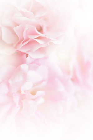 pink roses, sweet soft color background Zdjęcie Seryjne - 44141748