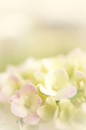 ピンクの柔らかい色のアジサイとぼかしの背景のスタイル 写真素材