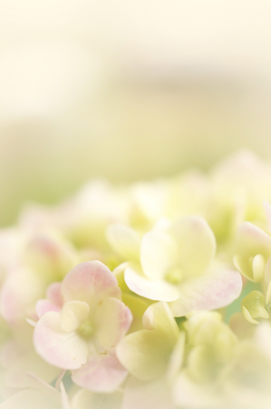 Pink hydrangea in soft color and blur style for background