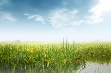 field of thai: Paddy rice field , soft color background