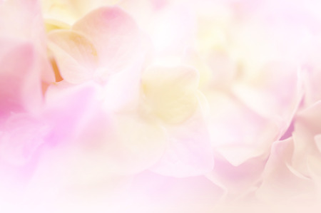 floral background: Sweet color hydrangea in soft color and blur style for background