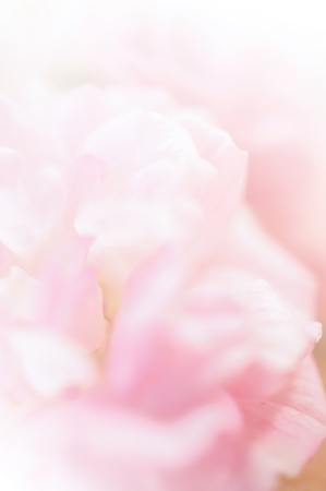 soft colors: sweet color roses in soft style for background