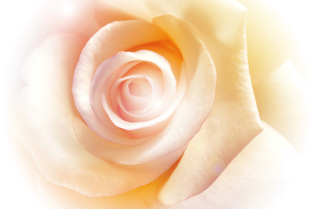 vivid color rose, soft background Banque d'images