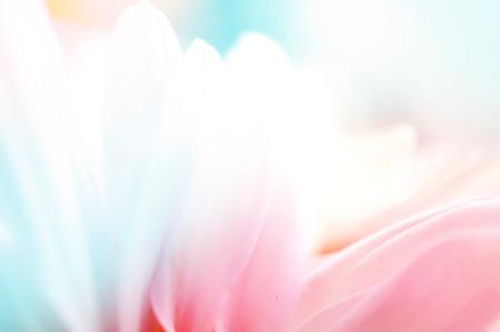 Chrysanthemums vivid color, soft background