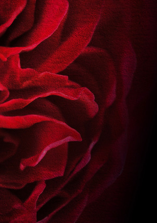 flower arrangements: dark red petal rose on mulberry paper texture background Stock Photo