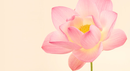 sweet pink lotus in soft and blur style for background Zdjęcie Seryjne - 45165035