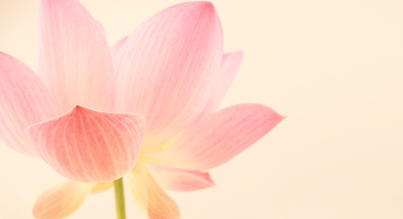 sweet pink lotus in soft and blur style for background Zdjęcie Seryjne - 45165074