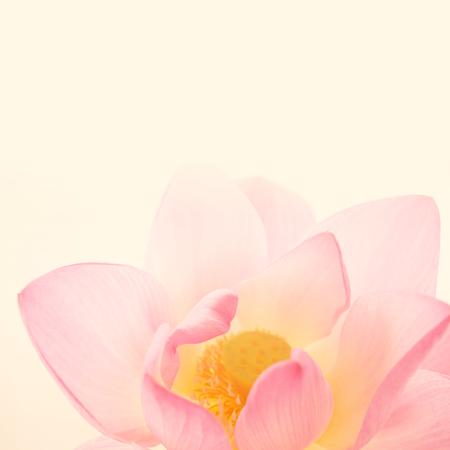 ソフトで甘いピンク ロータスと背景のぼかしスタイル