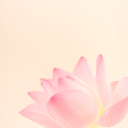 sweet pink lotus in soft and blur style for background