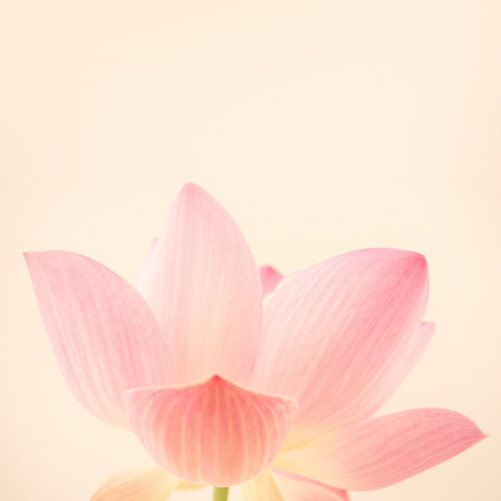 sweet pink lotus in soft and blur style for background Zdjęcie Seryjne - 45165083
