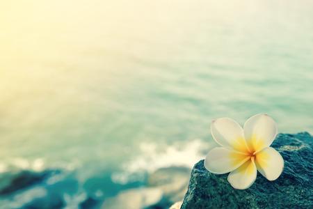 flores exoticas: frangipani blanco en la roca en la playa
