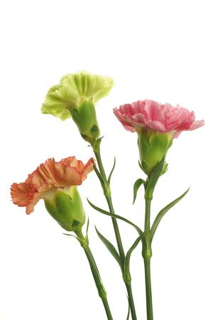 bouquet de fleurs: oeillets sur fond blanc Banque d'images