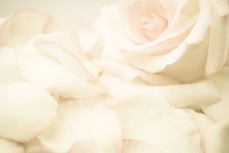 soft colors: pink rose flower in vintage color style for romantic background