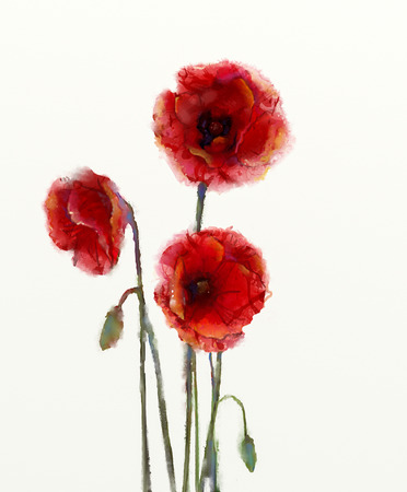 papaver: Red poppy flowers watercolor painting isolated on white background