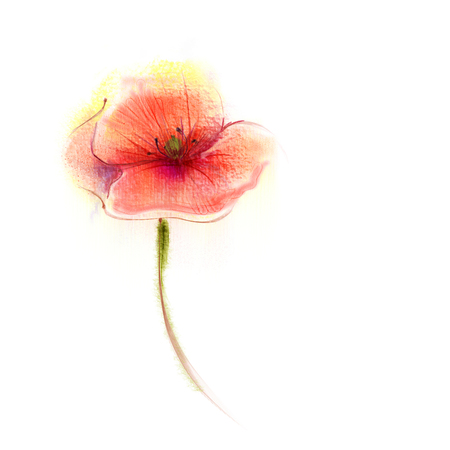pink flower background: Watercolor painting poppy flower. Isolated flower on white background. Pink and red poppy flower painting. Hand painted watercolor floral, flower background