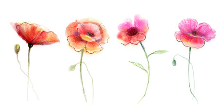 pink flower background: Watercolor painting poppy flower. Isolated flowers on white background. Set of Pink and red poppy flower painting. Hand painted watercolor floral, flower background.