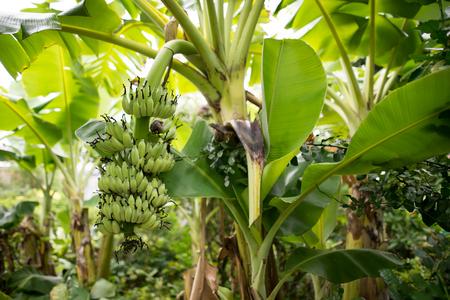 plantations: banana plantations