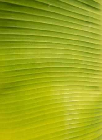 Banana leaf background Banco de Imagens