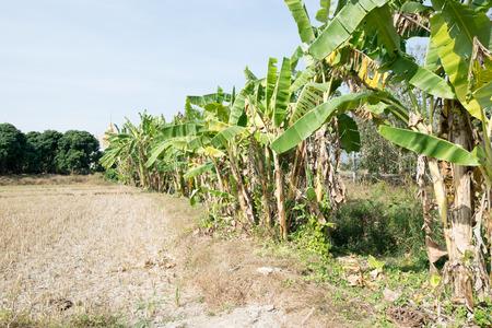 banana tree Banco de Imagens