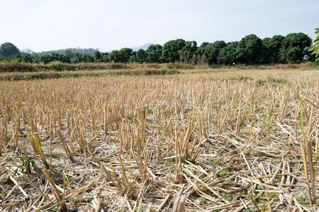 Dry rice fields Banco de Imagens