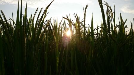 rice terrace: Walking in rice terrace Stock Photo