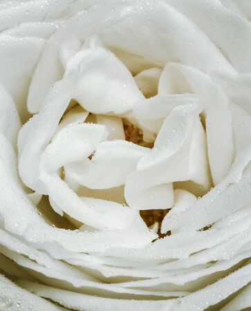 White rose represents purity of love