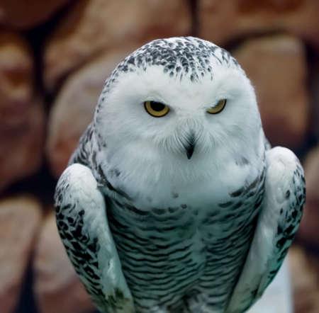 Owl gerade für Beute ruhig Standard-Bild - 34449538