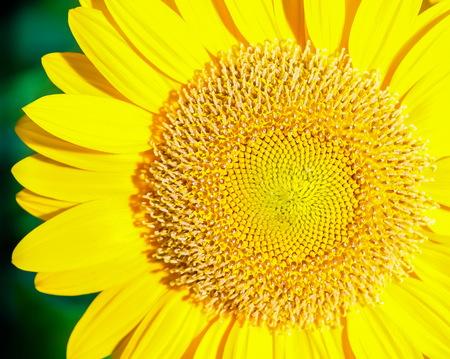 Sonnenblume in einem in der Nähe ziemlich gut Standard-Bild - 34729290