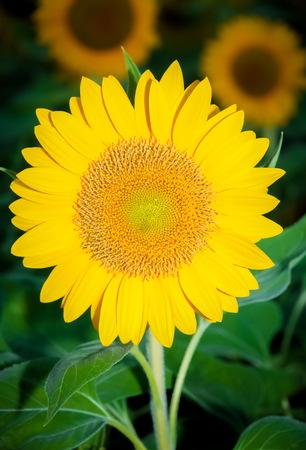 Sonnenblume im Garten Blick für schöne Standard-Bild - 34729291