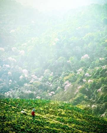 Cabbage Bauern auf einem Hügel Arbeits Standard-Bild - 38965231