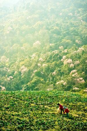 Cabbage Bauern auf einem Hügel Arbeits Standard-Bild - 39368110
