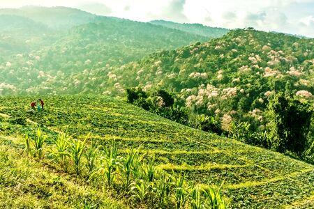 Cabbage Bauern auf einem Hügel Arbeits Standard-Bild - 39368111