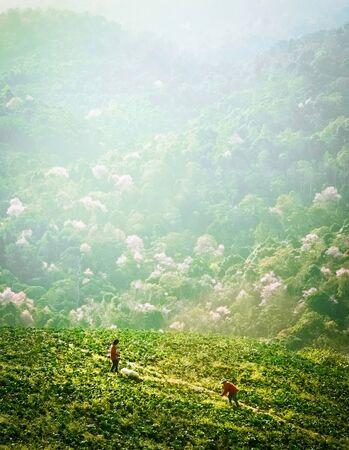 Cabbage Bauern auf einem Hügel Arbeits Standard-Bild - 39368112