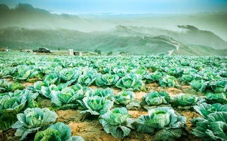 Kohl, der auf den Bergen wächst Landwirte pflanzten auf den phutabberk Bergen in Thailand Standard-Bild - 40732323