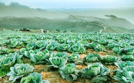 Kohl wachsen auf den mountainsFarmers auf den phutabberk Bergen in thailand gepflanzt Standard-Bild - 41069291