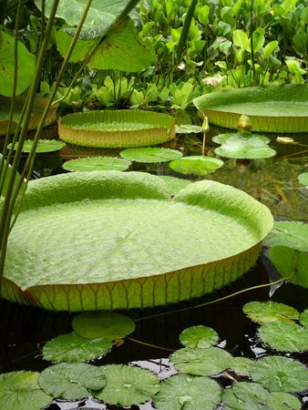 the biosphere: Victoria Water Lily