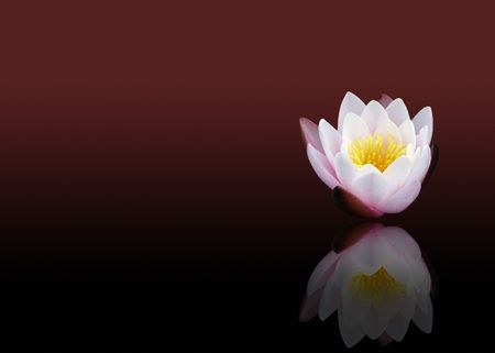 Bright water lily with dark background photo