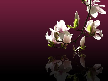 magnolia twig with dark background Stock Photo