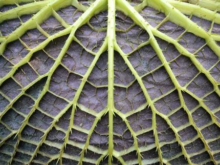 ビクトリア睡蓮の葉の下面