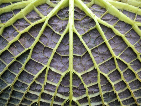nymphaeaceae: leaf underside of victoria water lily Stock Photo