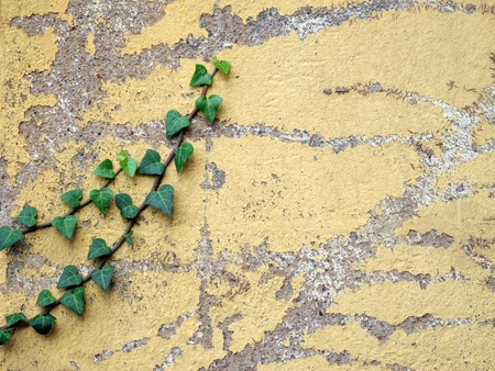 weathered wall with ivy Stock Photo - 10785063