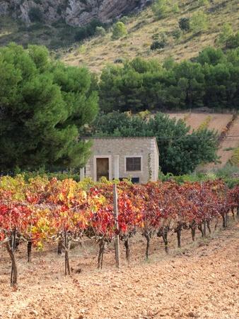 tartaric: vineyard in autumn