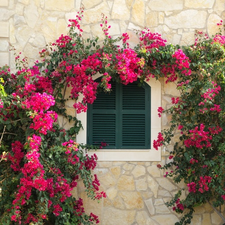 surrounded: Closed window surrounded by bougainvillea