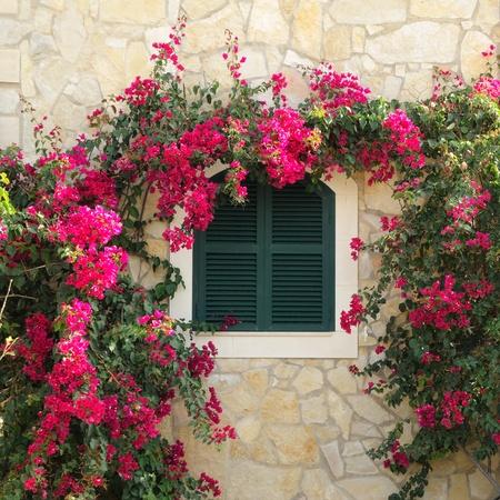 bougainvillea: Closed window surrounded by bougainvillea