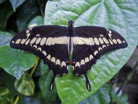 papilio demoleus: Papilio demoleus -  a tropical butterfly that lives in Afghanistan, South-East Asia and Australia