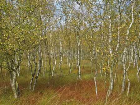 a beautiful birch forest in a moor in autumn photo