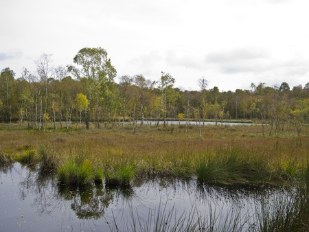bulrushes: typical landscape in the moor in autumn