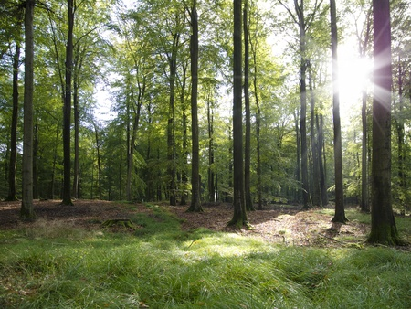 clearing: sunbeams in a beautiful beech forest in early autumn