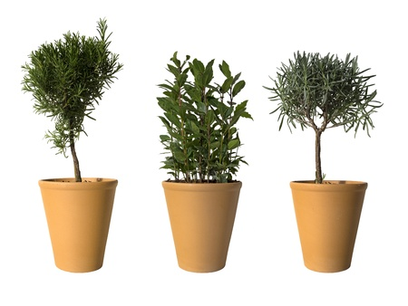 nobilis: laurel, rosemary and lavender in terracotta pots isolated on white with copy space