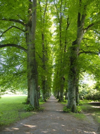 tree canopy: lime alley in summer Stock Photo